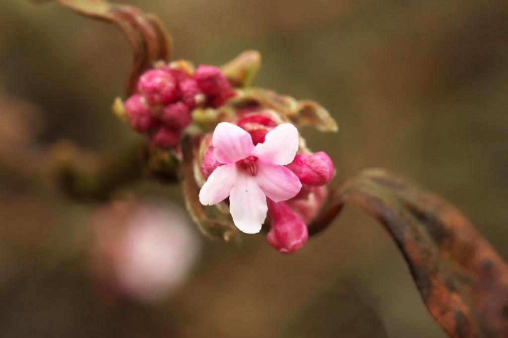 Blühpflanzen im Januar, Schneeball